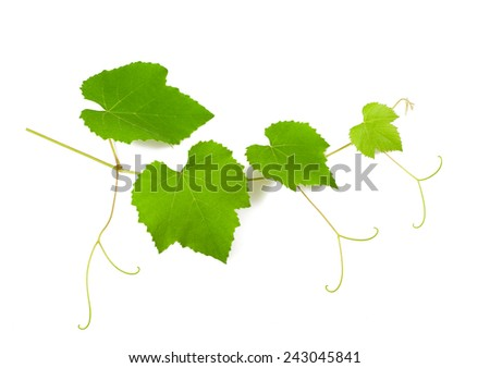 vine branch with  leaves isolated on white - stock photo