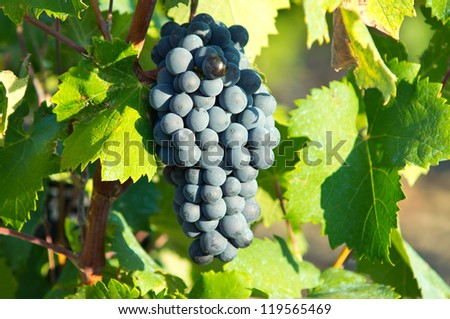Vine from South of France - stock photo