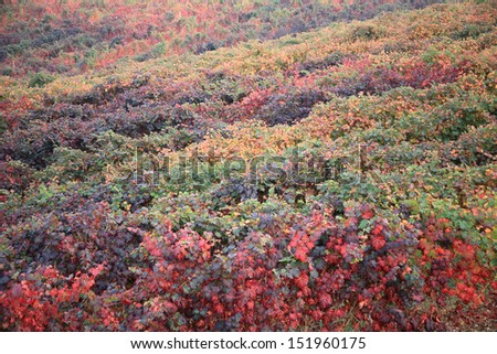 vine grapes in autumn with red leaves - stock photo
