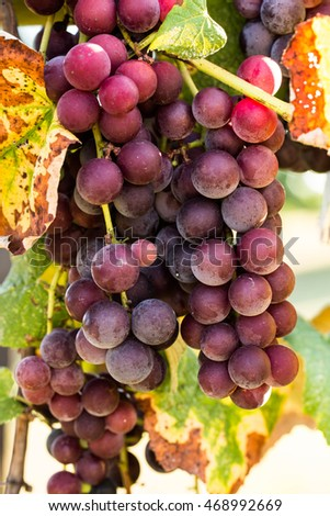 vine in a wine vineyard with purple grapes