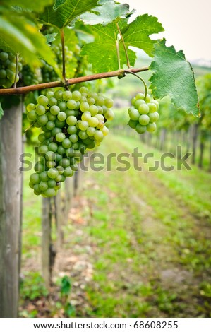 Vine in Austria - stock photo