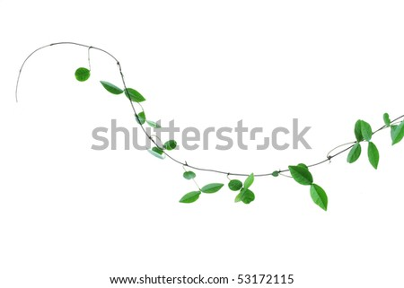 vine isolated on white background - stock photo