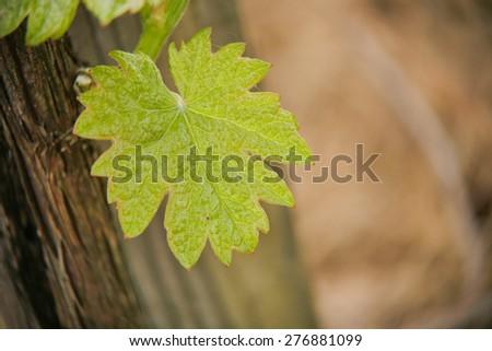Vine Leaf in spring-Vineyard south west of France, Bordeaux Vineyard - stock photo