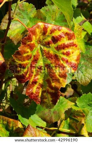 vine leaves - stock photo