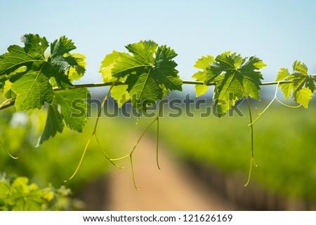 Vine leaves in a vineyard - stock photo