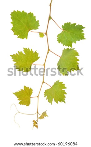 Vine leaves isolated on white - stock photo