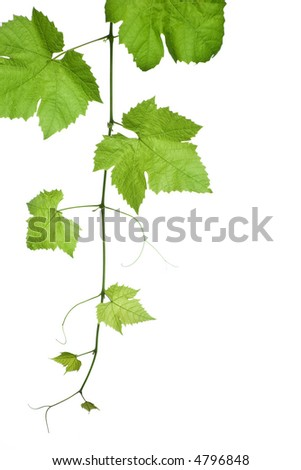 vine leaves isolated on white background.Please take a look at my other images of grape-leaves - stock photo