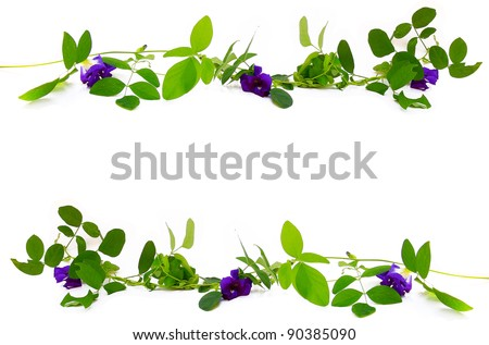 vine of Clitoria ternatea with empty space. - stock photo