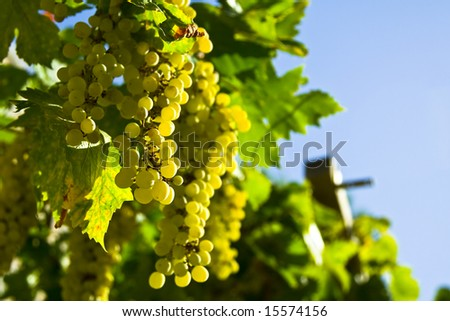 Vine of grapes under the sun - stock photo