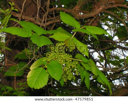 Vine of Poison Ivy showing the fruit set, but still immature - stock photo