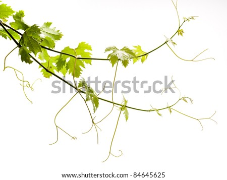 vine on a white background - stock photo