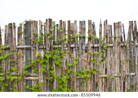 Vine on bamboo wall - stock photo