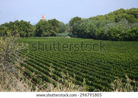 Vine plantation in Spain  - stock photo