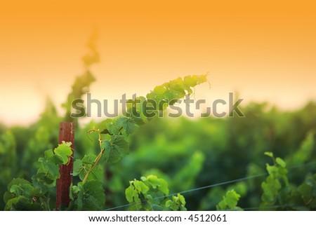 Vine plants close-up, shallow DOF. Napa Valley, California, USA. - stock photo