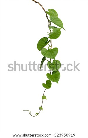 vine stock images, royaltyfree images  vectors  shutterstock, Beautiful flower