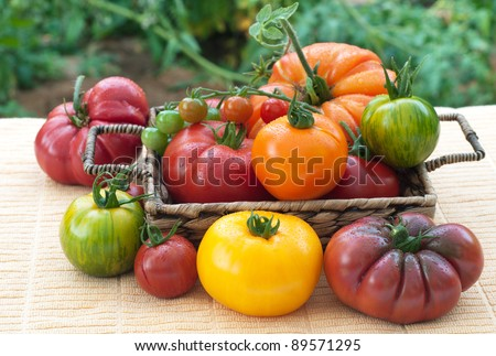 Vine Ripened, Variety of Freshly Picked  Home Grown Tomatoes Arranged in a Basket and on a Table in a Back Yard with Tomato Plants in the Background - stock photo