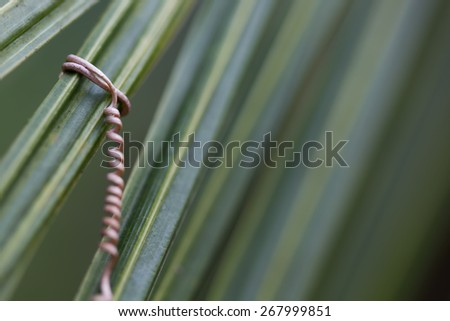 vine roots with coconut leaf - stock photo