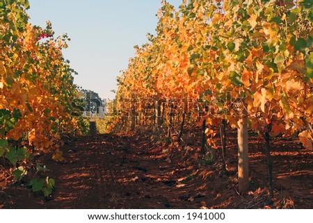 Vine row displaying beautiful autumn colors - stock photo