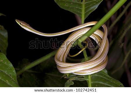 Vine Snake (Xenoxybelis argenteus) coiled in the rainforest understory, Ecuador. - stock photo