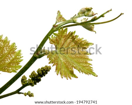 vine sprout with young grape cluster on white - stock photo