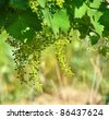 Vine sprout with young grape clusters - stock photo