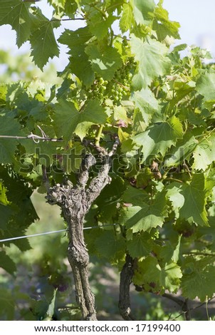 Vine stock photograph showing stock, leaves, and green grapes - stock photo