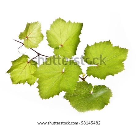 vine twig isolated on white background - stock photo