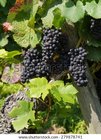 vine with blue grapes - stock photo