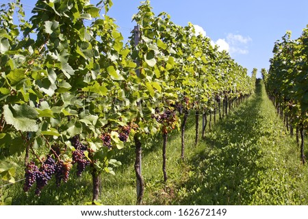 Vine with ripe grapes - stock photo