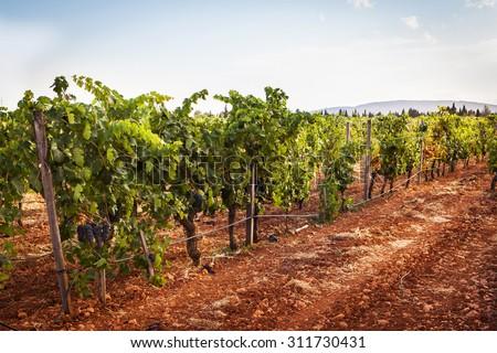 Vine with ripe purple grapes - stock photo