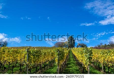 vines - stock photo