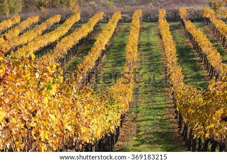 vines after the harvest in the fall with brightly colored hills of Modena wines Trebbiano and Lambrusco - stock photo