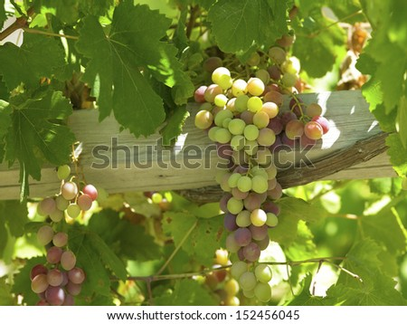 Vines in a vineyards producing Chilean wine in the Colchagua Valley near Santa Cruz in central Chile. - stock photo