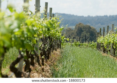 Vines on trellis' in vineyard - stock photo