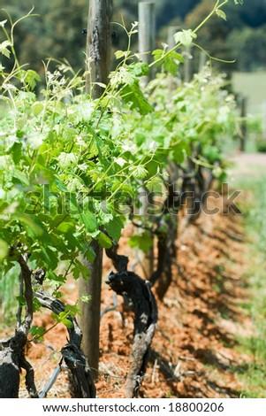 Vines on trellis' in vineyard - stock photo