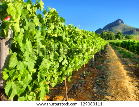 Vineyard against awesome mountains - close view. Shot near Stellenbosch, Western Cape, South Africa. - stock photo