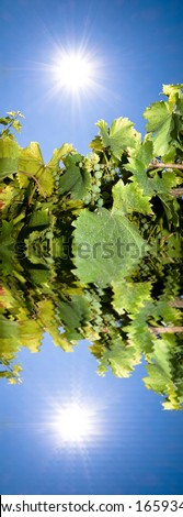 Vineyard against bright summer with reflection in water