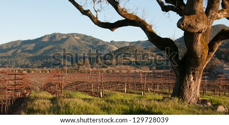 Vineyard at Dawn - stock photo