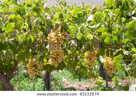 Vineyard at Elqui valley, Chile - stock photo