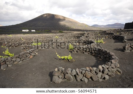 Vineyard at Lanzarote using volcanic dust, Canary Islands - stock photo