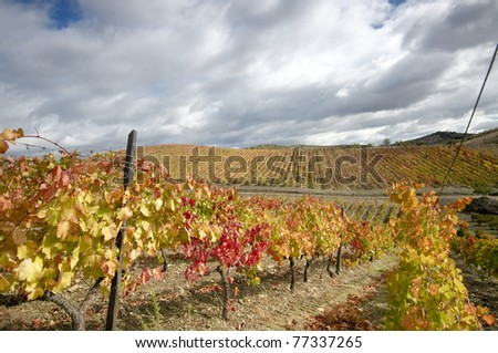 Vineyard at Portugal0s Douro Valley in Autumn colors - stock photo