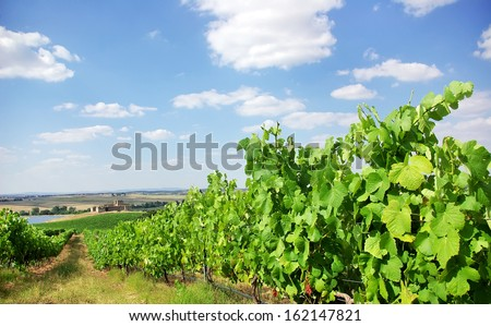 Vineyard at south of  Portugal, Alentejo region.  - stock photo