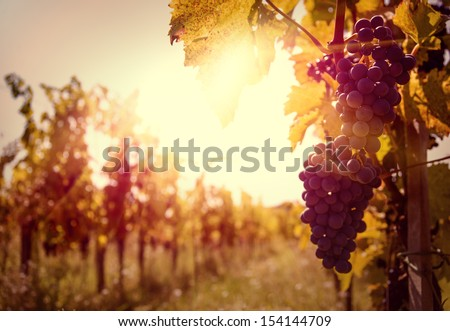 Vineyard at sunset. - stock photo