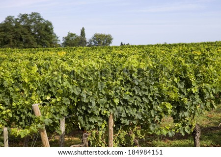 Vineyard at the rural fields of Bordeaux, France