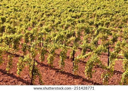 Vineyard background - stock photo