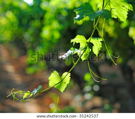 vineyard branch - stock photo