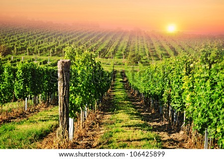 Vineyard, countryside farming, red sky. - stock photo