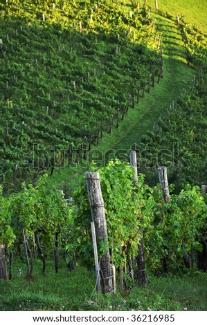 Vineyard detail and footpath