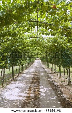 Vineyard footpath. - stock photo