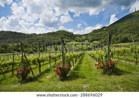 Vineyard from Italy - stock photo